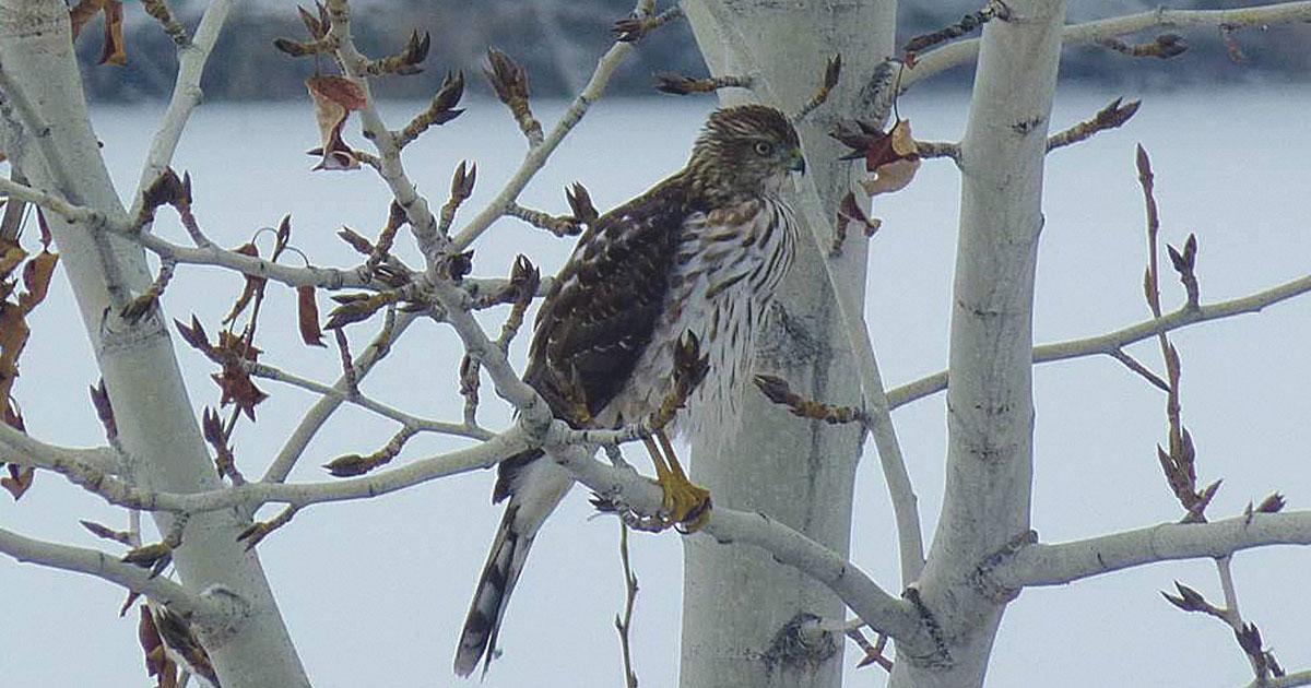 Citizen Science: Backyard Bird Count and Intermountain Bird Observatory