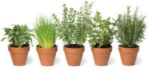 MSN 345 - Growing Herbs