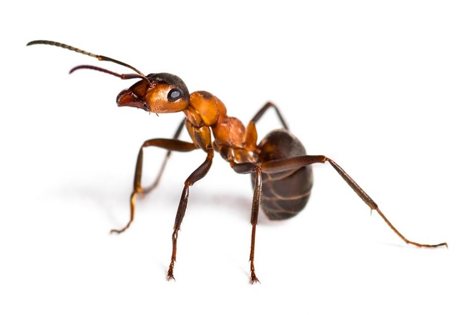 Big Bad Ant