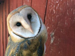 Barn Owl at the Owl Research Institute