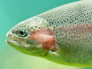 Steelhead close-up floating under aquamarine water background