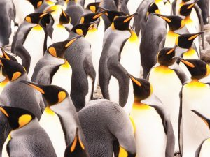 Photo of a bunch of penguins