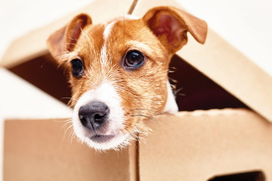 Photo of jack russell terrier poking its head out of a box. You have lots to consider when moving with a pet