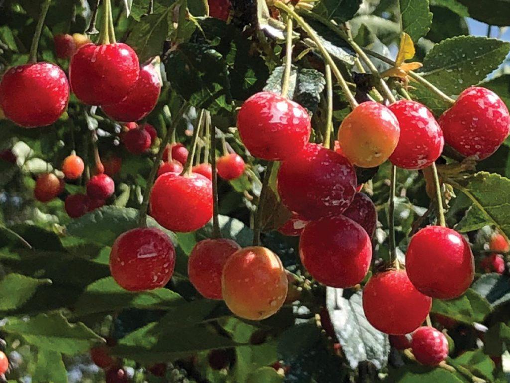 Cherry Picking Memories